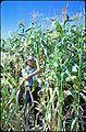 John Yungen in corn field, circa 1975 (7951530084).jpg