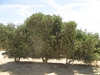 Jojoba plantation in Hatzerim, Israel.jpg