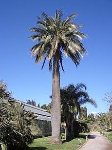 Jubaea chilensis Hyères gross.jpg