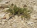 Judean Desert IMG 1824.JPG