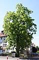Juglans nigra.Marburg.jpg