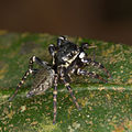 Jumping spider from ecuador (15050436642).jpg