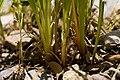 Juncus ensifolius - Flickr - aspidoscelis (1).jpg