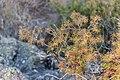 Juniperus communis in Foret des Palanges (1).jpg