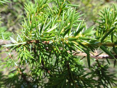 Juniperus communis var depressa SCA-03347.jpg