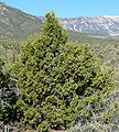 Juniperus osteosperma 2.jpg
