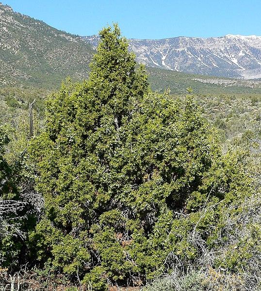 File:Juniperus osteosperma 2.jpg