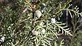 Juniperus thurifera. Xinebru turíferu (gálbulos).jpg