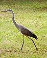 Juvenile Great Blue Heron.jpg