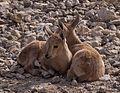 Juvenile Nubian ibex (50853).jpg
