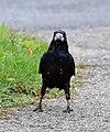 Künnivares (Corvus frugilegus).jpg