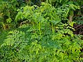 Kalamunggay (Moringa oleifera), Philippines.jpg