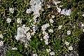 Kalmia procumbens s2.jpg