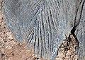 Karren weathering (Wirrapowie Limestone, Lower Cambrian; Mernmerna railroad bridge dry creek cut, South Australia) 3.jpg