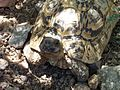 Keepers of the Wild - Tortoise - panoramio - Zzyzx (1).jpg