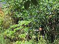 Ken under Solanum (8080004766).jpg