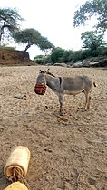 Kenya, Kitui County. On a dry river bed, the donkey awaits to carry water jerricans.jpg