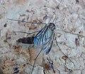 Keroplatidae - Flickr - gailhampshire.jpg