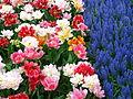 Keukenhof tulipes et muscari.JPG