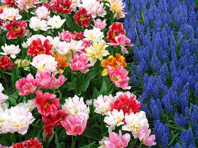 File:Keukenhof tulipes et muscari.JPG
