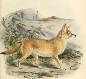 Keulemans pale fox.png