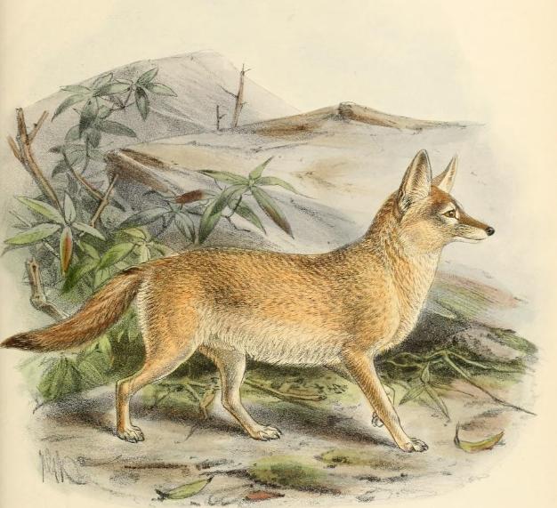 Keulemans pale fox