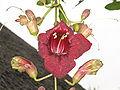 Kigeliaflower.JPG