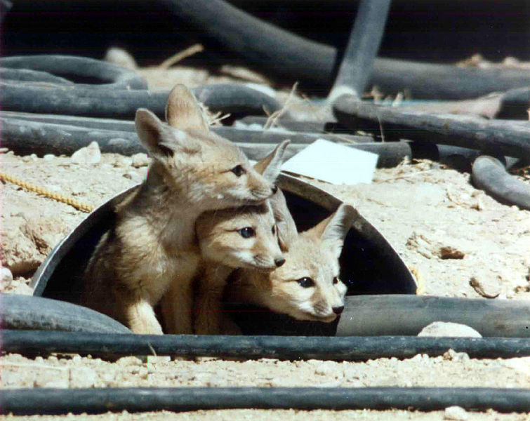 File:Kit foxes at the Nevada Test Site.jpg