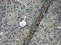 Knallerbsen an der Fördestraße beim Twedter Plack (Flensburg-Mürwik 2015-01-01), Bild 04.jpg