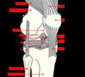 Knee diagram.png