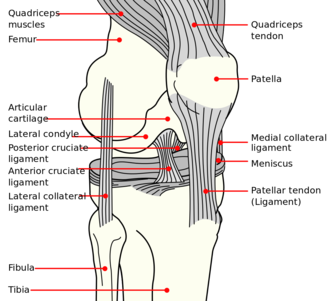 Medial condyle of tibia - Image: Knee diagram