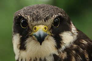 Eurasian hobby - Image: Kobuz (Falco subbuteo)