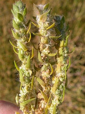 Bassia scoparia - Image: Kochia scoparia (5129971714)