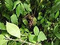 Koenigia polystachya-1-badulla road-nuwara eliya-Sri Lanka.jpg