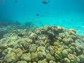 Korallenriff tauchen Malediven (29325283980).jpg