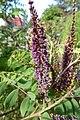 Korina 2011-05-27 Amorpha fruticosa 2.jpg