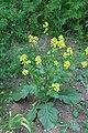 Korina 2015-06-12 Brassica nigra 2.jpg