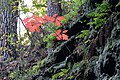 Korina 2015-10-10 Quercus rubra.jpg