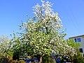 Kwitnące dzewo prz ulicy Zacisze - panoramio.jpg