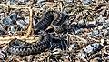 Kyykäärme.jpg