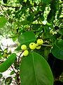 Lá và quả gừa 2.jpg