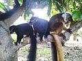 Lémurien de Nosy KOMBA à Nosy-Be.jpg