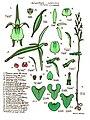 LR001 72dpi Acianthus sublestus.jpg