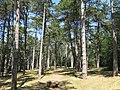 La forêt à la Garenne (Tournus).jpg