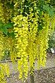 Laburnum × watereri - Jardin des plantes de Nantes.jpg