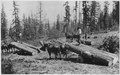 Ladd photo of horse skidding of logs on the Moses Mountain logging unit. For skindding to landings along the railroad... - NARA - 298697.tif