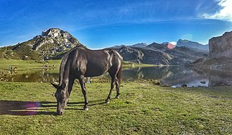Lakes of Covadonga - A mule grazing by the Ercina lake, Nov 2015.