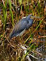 Lake Woodruff Tricolored Heron - Flickr - Andrea Westmoreland.jpg