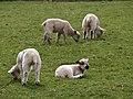 Lambs, Parke - geograph.org.uk - 760751.jpg