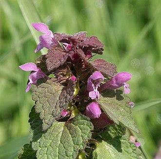 Lamium purpureum - Image: Lamium purpureum 280405